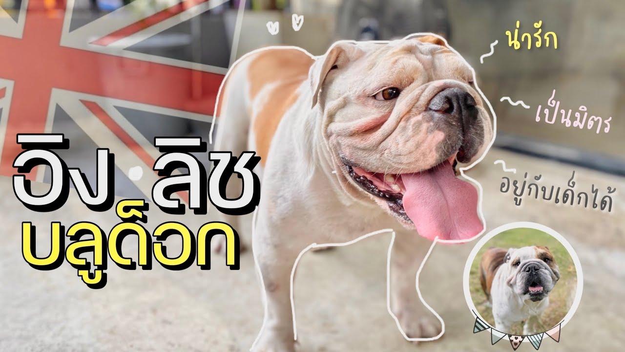 สุนัขสายพันธุ์อิงลิช บลูด็อก | สุนัขน่าเลี้ยงในตอนนี้ (EP.6)