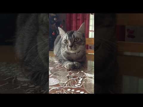 Shii Shii (American Short Hair x Persian Cat) Time Lapse