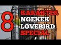 Karakter Ngekek Lovebird Konslet Ciri Ciri Lovebird Konslet  Mp3 - Mp4 Download