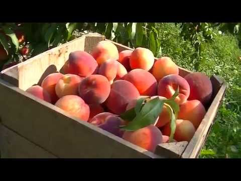 Picking Peaches for the Labor Day Weekend Market