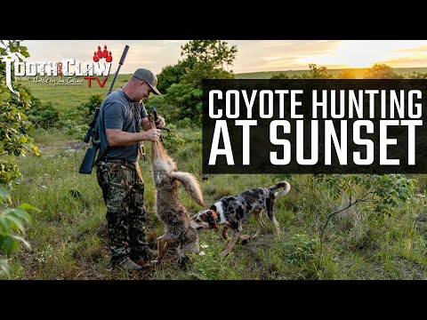 Coyote Hunting At Sunset