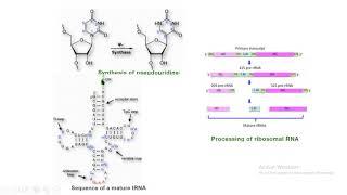 tRNA rRNA pseudouridina metilación biología molecular biology