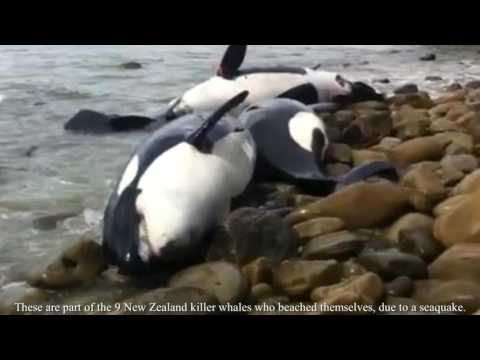 The FACTS about Orcas in Captivity and the Wild - Продолжительность: 4:11