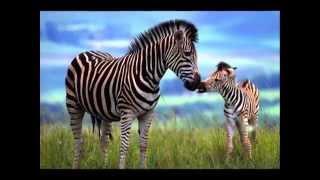 Giraffe Spots and Zebra Stripes