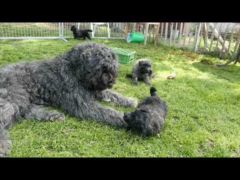 www.ASKAARDIA.de Bouvier des Flandres Hundezucht in Mittelhessen ASKAARDIA 19: Spielen und Schmusen