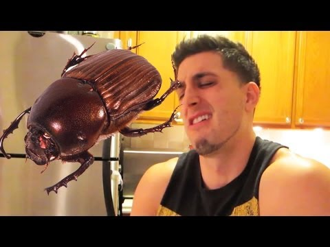EATING DUNG BEETLES