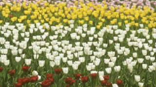 """童謡 ♪チューリップ A Japanese children's song """"Tulip"""""""