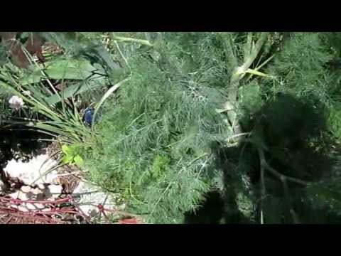 """Dill Weed (Anethum Graveolens),Lisa's Landscape & Design """"Plant Pick Of The Day"""", Owner Lisa LaPaso,"""