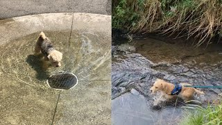 LAKELAND TERRIER EXCITING MOMENTS INCLUDING WATER