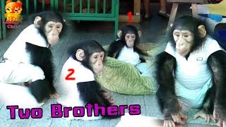 The chimpanzees two brothers both cute and naughty
