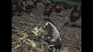 放し飼いのチキンの傍らで遊ぶ幼犬の紀州犬「ねはん」 presented by Niw...