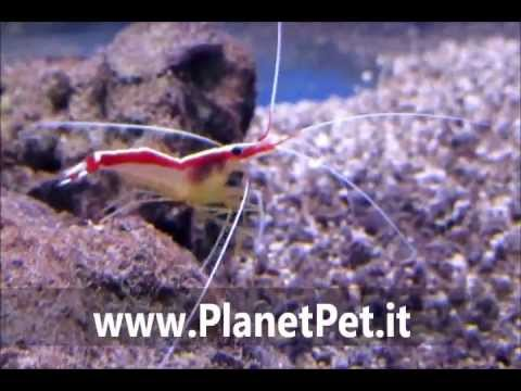 Lysmata Amboinensis – www.PlanetPet.it
