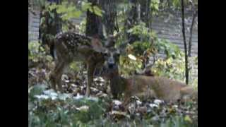 Doe with Two Fawns - Hot Springs Village, Arkansas