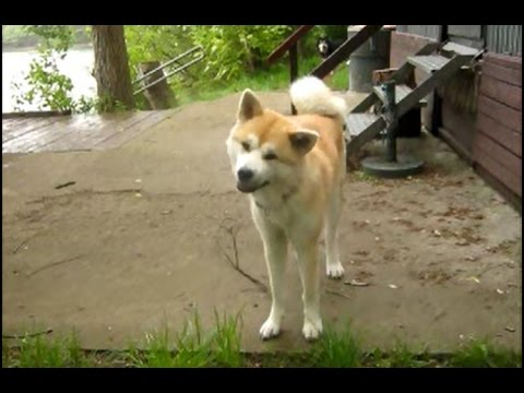 off-leash walk at forest-lake with Akita Inu and Finnish Lapphund