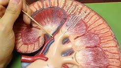 hqdefault - Stellate Veins Of Kidney