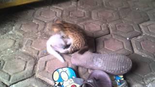 Download Video Kucing Hutan (Diego The Blacan) MP3 3GP MP4