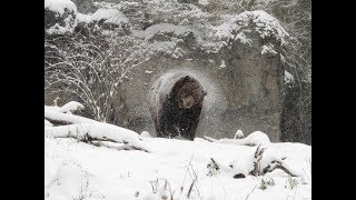 Hunt Story, Grizzlys On The Trail