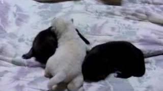 都多加良荘で2006年1月に生まれた仔犬・生後10日。 http://www.geocit...
