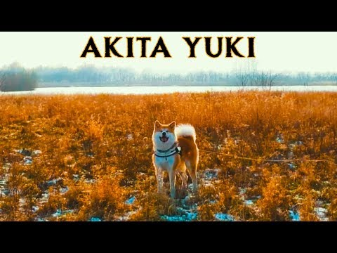 AKITA INU - A DOG NAMED YUKI | Official Trailer (2019) | 秋田犬