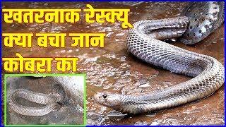   कभी ऐसा रेस्क्यू नहीं देखा होगा  Very big and dangerous cobra  kamal choudhary 9755695959