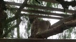 Mountain Lion attack at Skydog Ranch Malibu