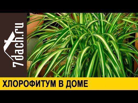 Хлорофитум: уход, размножение, особые свойства - 7 дач