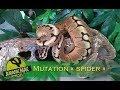 Python regius - Mutation