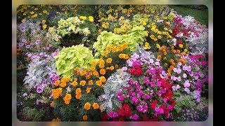 видео Низкорослые садовые цветы: подборка лучших сортов для клумбы