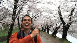 Cherry Blossom Tunnel in Hirosaki thumbnail