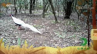 《秘境之眼》 白鹇 20201120| CCTV - YouTube