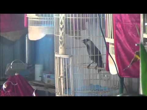 Mua bán chim Khướu bạc má hót giọng rừng  - Web banchim.vn - Chuyên mua bán chim cảnh