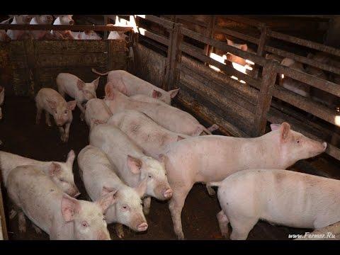 Фермерское хозяйство Крыловых. Содержание взрослых свиней и молодняка