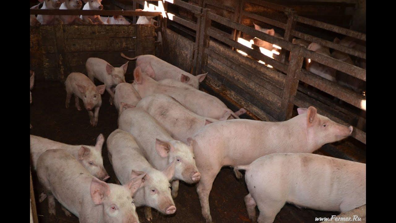 Совокупление свиней видео фото 38-206
