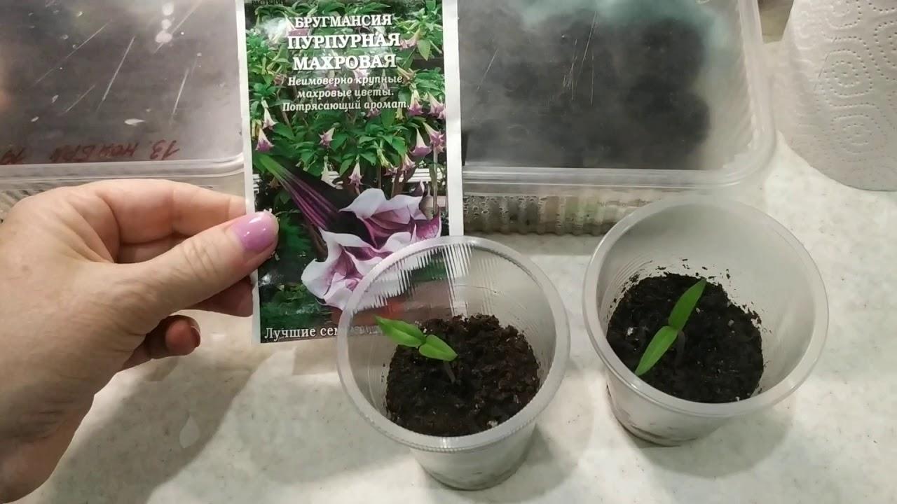 всходы кедра из семян фото