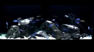 Lake Malawi Display Aquarium 75 Gallon Mbuna 9/20/14 1080 HD