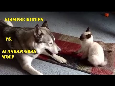 Siamese Kitten vs. Alaskan Gray Wolf