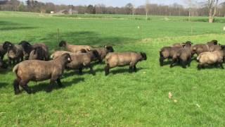 Specop Suffolk lambs april 2016
