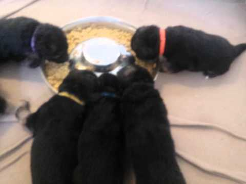 German Shepherd Puppies First Meal - 20 Days Old