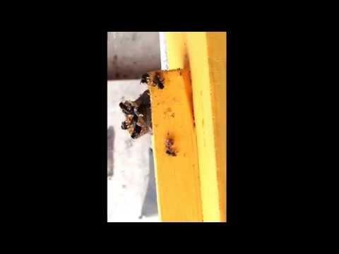 Encuentro de dos especies de abejas nativas mexicanas meliponini