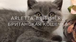 Маленькая британская кошечка. Котенок 2 месяца