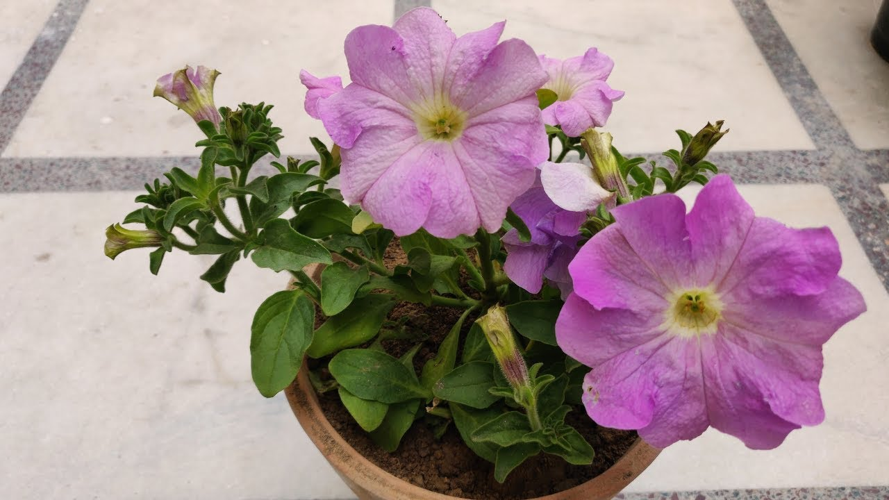 Petunia Plant Care Hindi How To Grow Care Petunia Plant In Pots At Home Petunia Flower Youtube