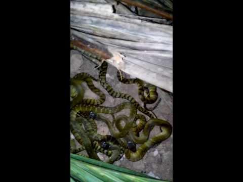 Ban giong ran ho heo   bán rắn hổ hèo  hổ vện 01688774950