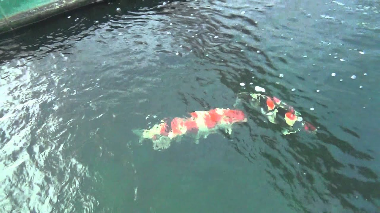 Koiquestion at sakai fish farm main koi house including for Koi carp farm