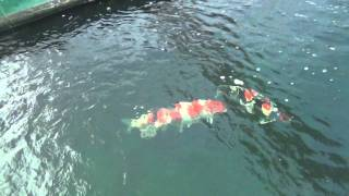 KoiQuestion at Sakai Fish Farm   Main Koi house including the 2011 GC All Japan 11 02 12