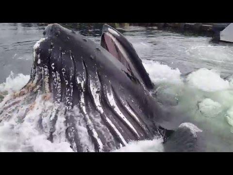 Ketchikan: Alaska Whale Feeding in Knudson Cove!