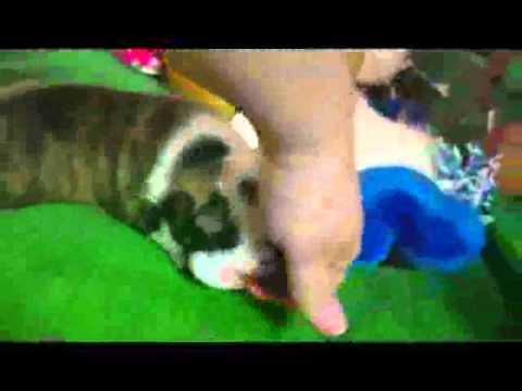 AKC Brindle And White English Bulldog Panini Girl 1 7.25