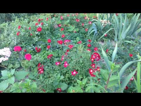 Розы минимального ухода - почвопокровные.