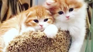 Продаются котята Шотландские Скоттиш фолд, Хайленд страйт.