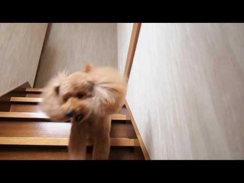 trimming(トリミング)   hairstyle(ヘアスタイル)   Teddy Bear(テディベア)   Toy Poodle Dog( トイプードル 犬)