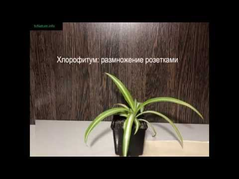 Хлорофитум: размножение розетками